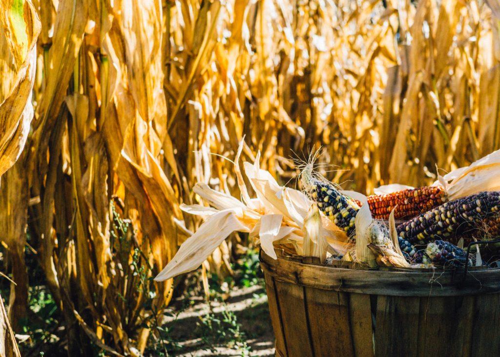 corn harvest thanksgiving