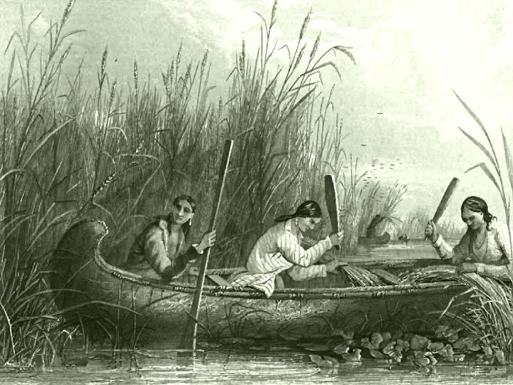 Frauen bei der Wildreis Ernte (ca. 1853)
