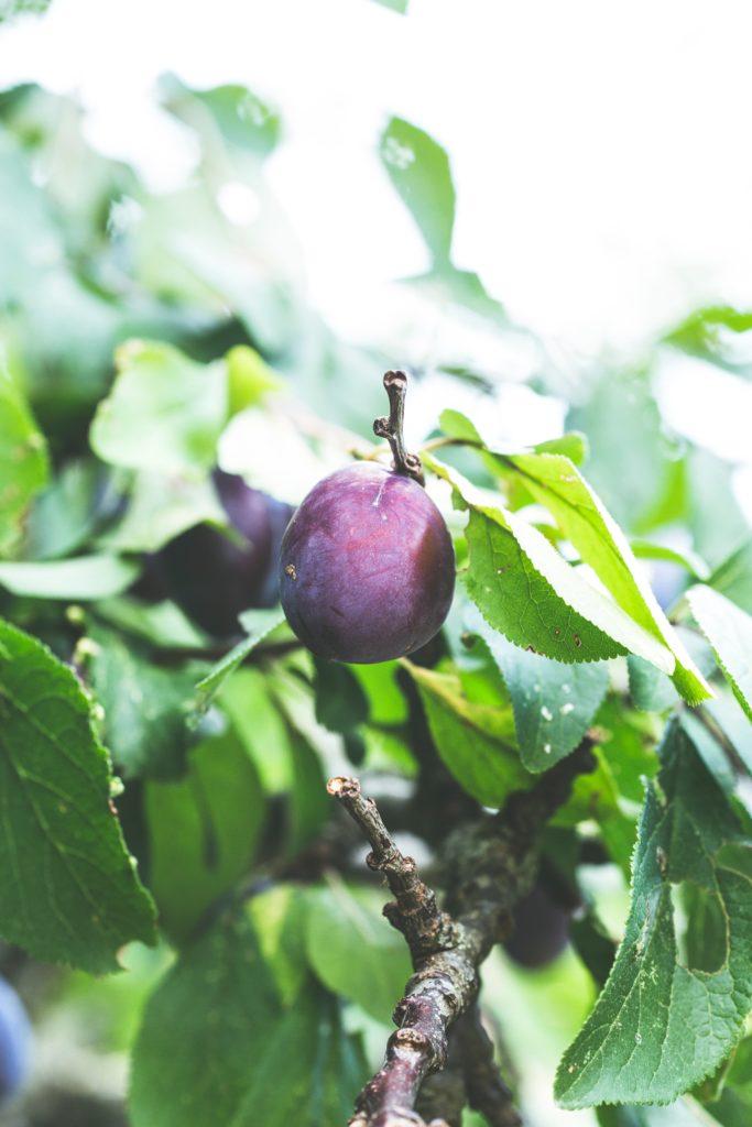 Zwetschgen am Baum für die traditionellen Zwetschgenknödel
