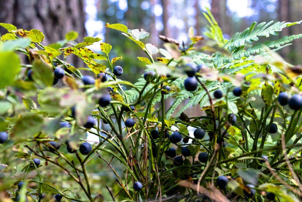 Blaubeeren für die Beerensuppe
