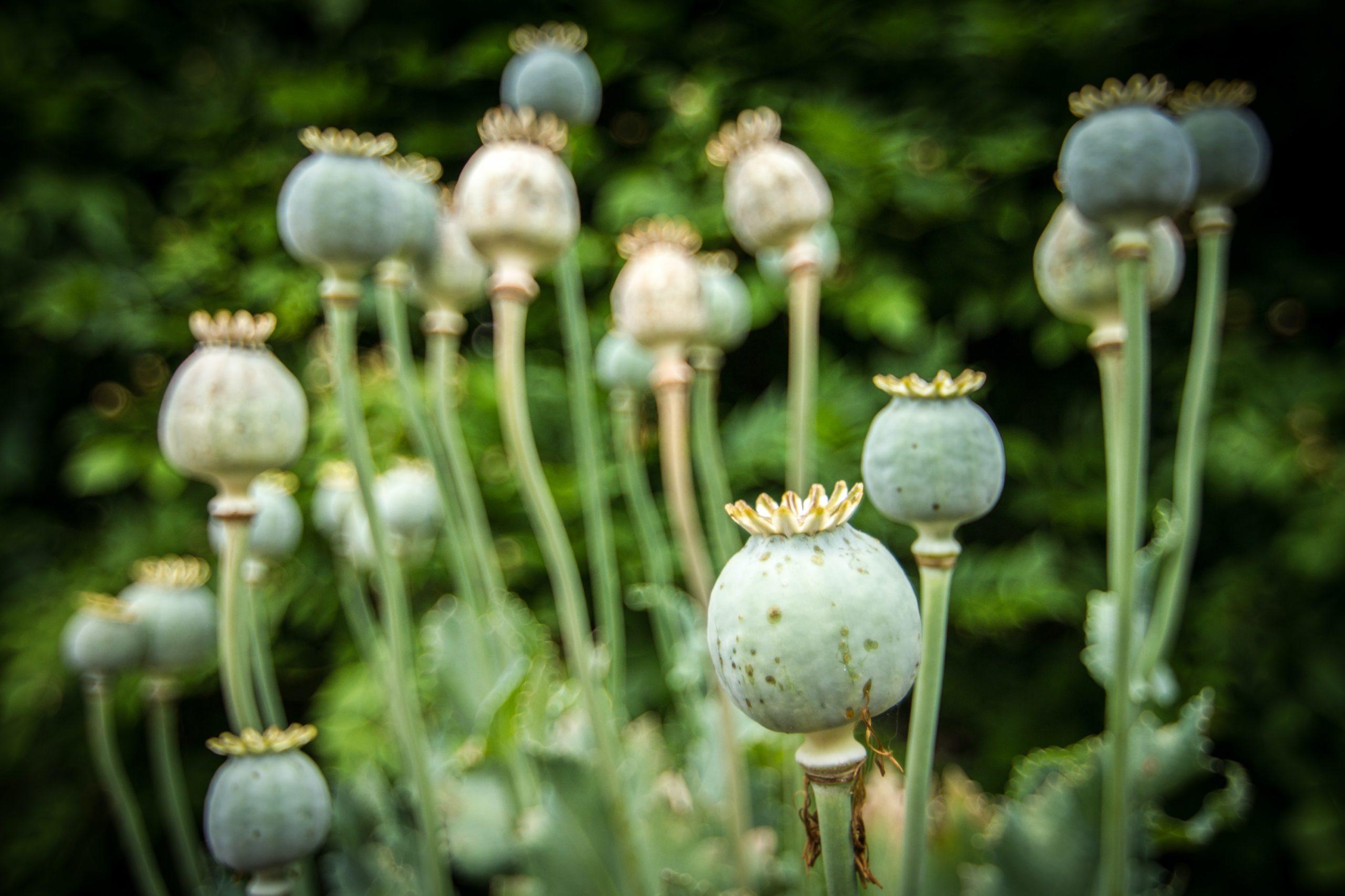 Opium Mohnblume